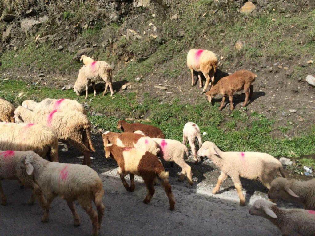 goats_kaghan